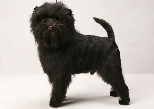 Westminster Dog Show Winner Banana Joe to Make Broadway Debut in Edwin Drood