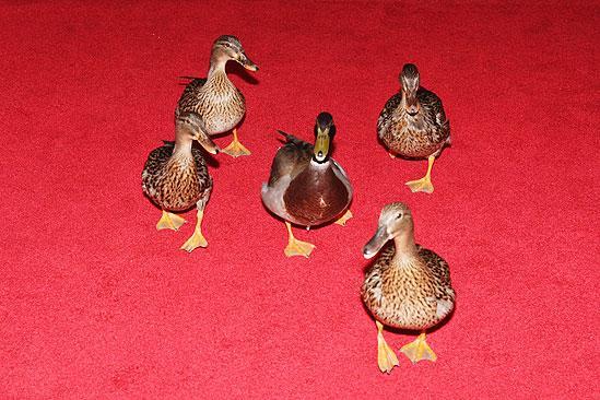 Memphis Opening - ducks